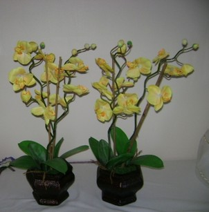 Yellow Potted Orchids